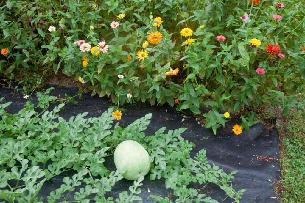 Grover Delaney melon and zinnias