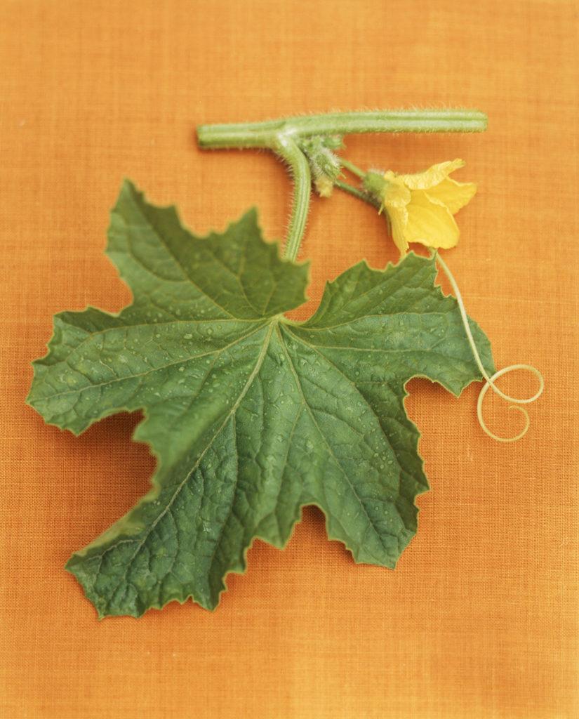 Melon Leaf